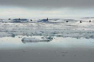 IMG_2403.JPG Et fantastisk fugleliv - polare arter av måke, tjeld, lomvi og mange andre.