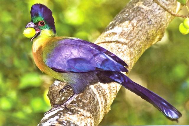 Blåfugl fra Sør-Afrika.jpg
