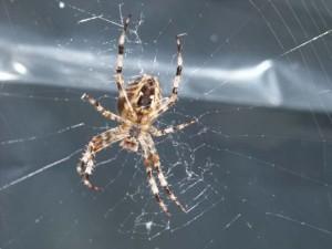 Edderkoppen spinner sitt nett