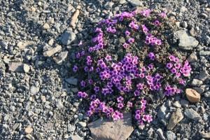 IMG 2297 Det finnes faktisk mange typer blomstrende planter også på Svalbard